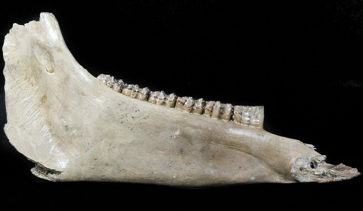 Fossil Horse Teeth For...