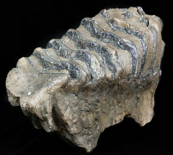 Rare 8 4 southern mammoth m2 molar hungary for sale for Bulk river rock for sale near me