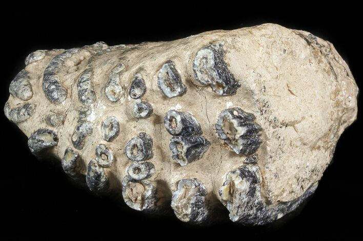 Partial 5 5 southern mammoth molar hungary for sale for Bulk river rock for sale near me