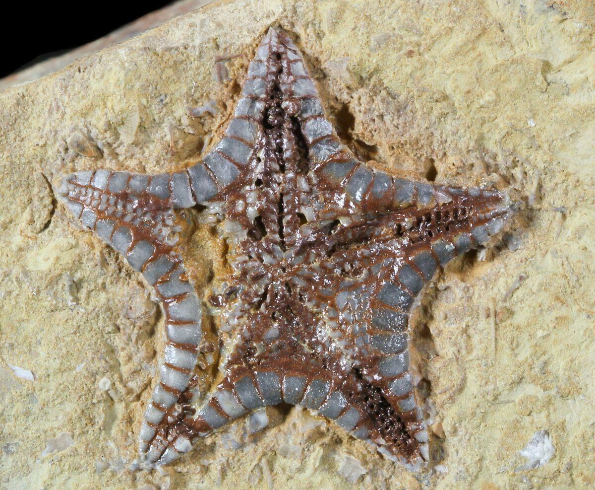 """Rare, .9"""" Cretaceous Starfish (Marocaster) - Morocco For ..."""