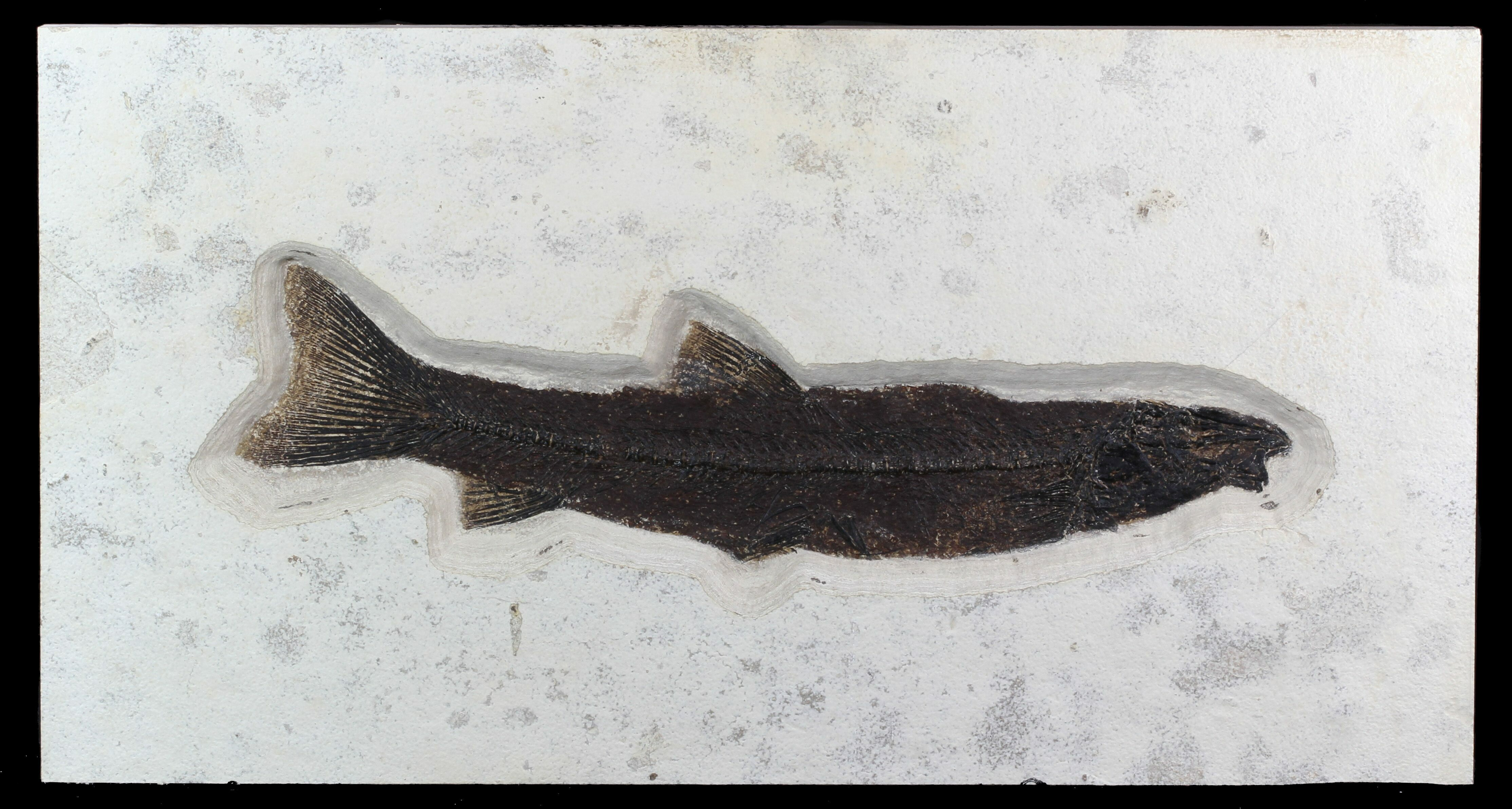 Rare 18 long notogoneus fish fossil wyoming for sale for Fish fossils for sale