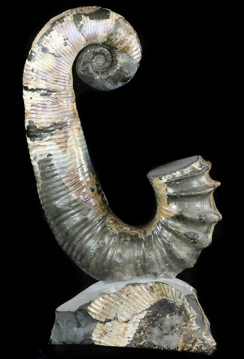 "Pearl River Wholesale >> 9"" Heteromorph Ammonite Fossil - Volga River, Russia For ..."