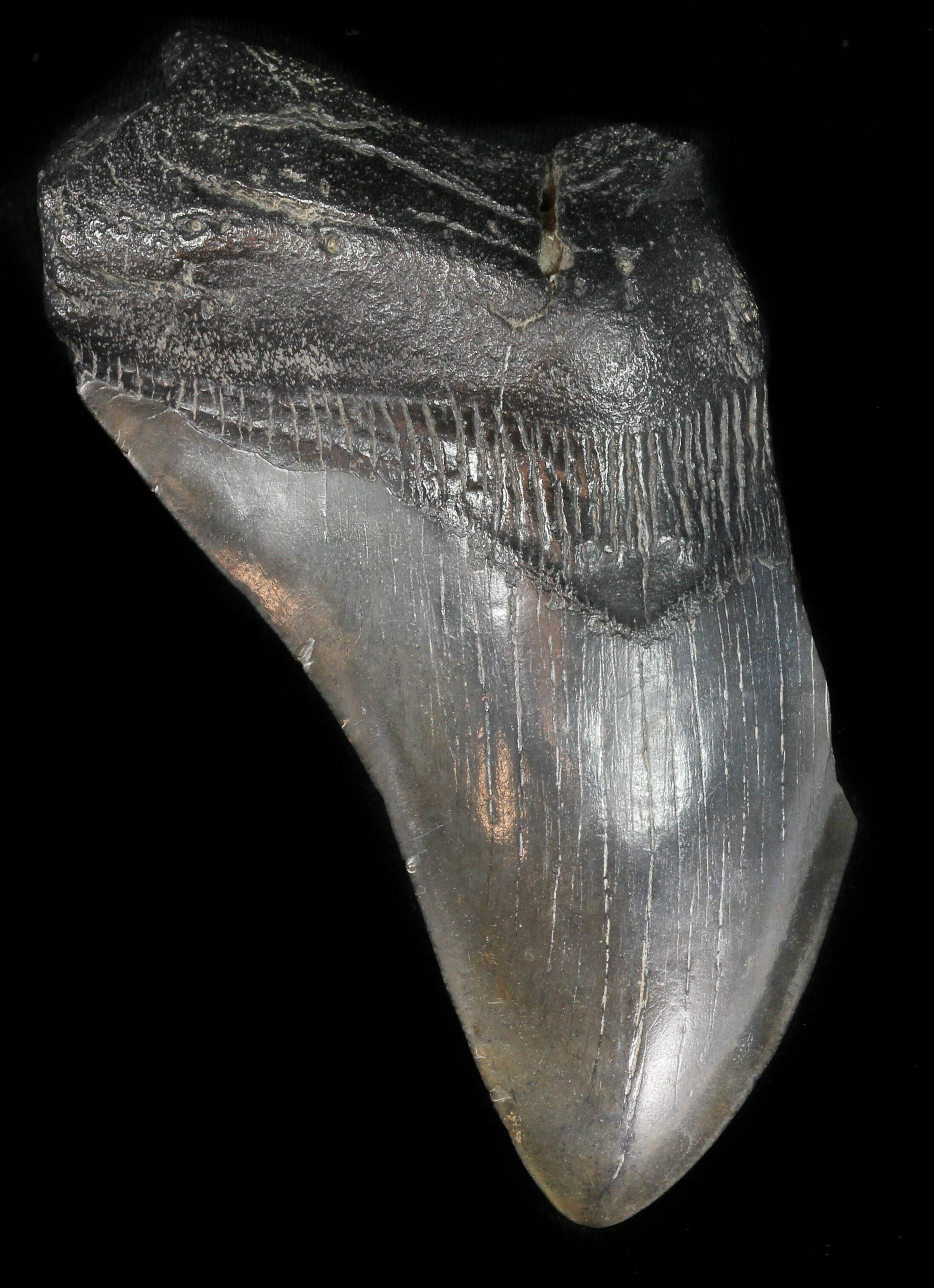 Partial, 5.18 Megalodon Tooth - Georgia For Sale (#47619) - FossilEra.com
