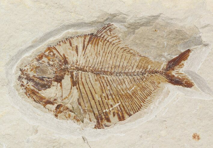 1 8 cretaceous fossil fish pharmacicnthys lebanon for for Fish fossils for sale