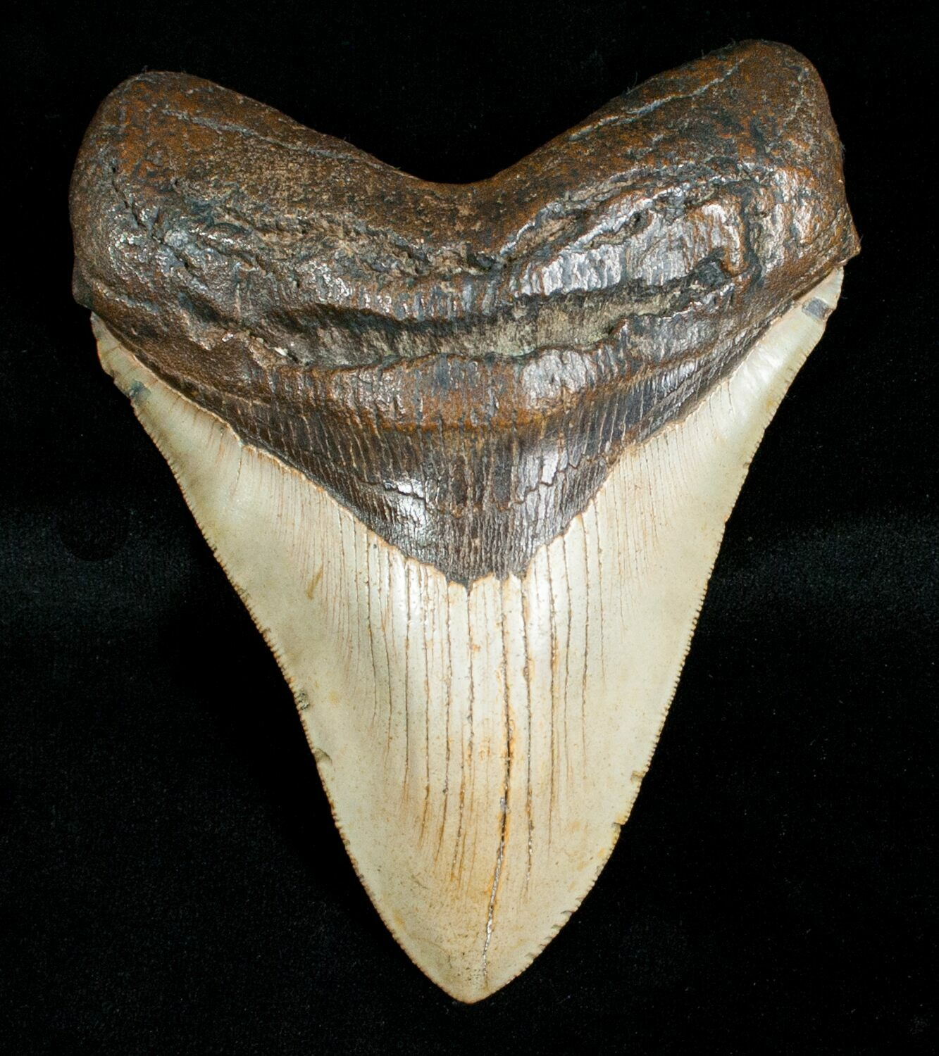 "4.84"" Megalodon Shark Tooth - Serrated For Sale (#4563) - FossilEra.com"