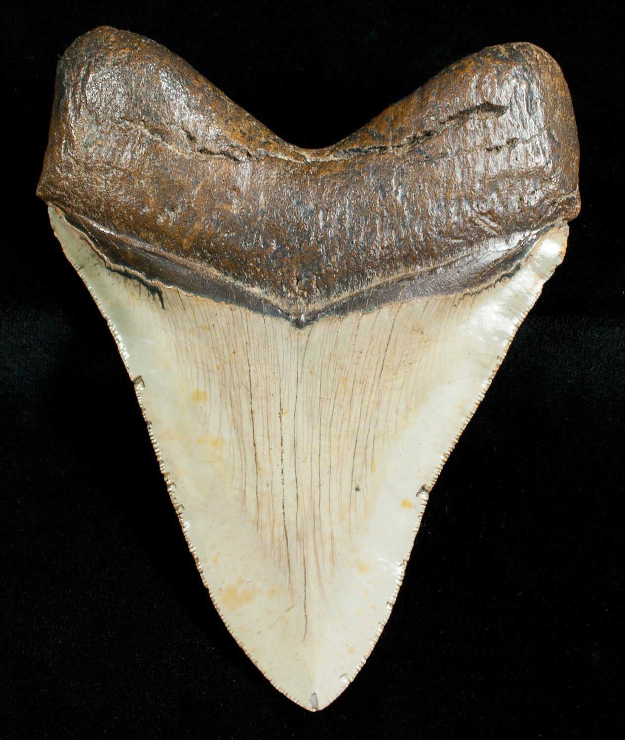 """4.84"""" Megalodon Shark Tooth - Serrated For Sale (#4563 ..."""