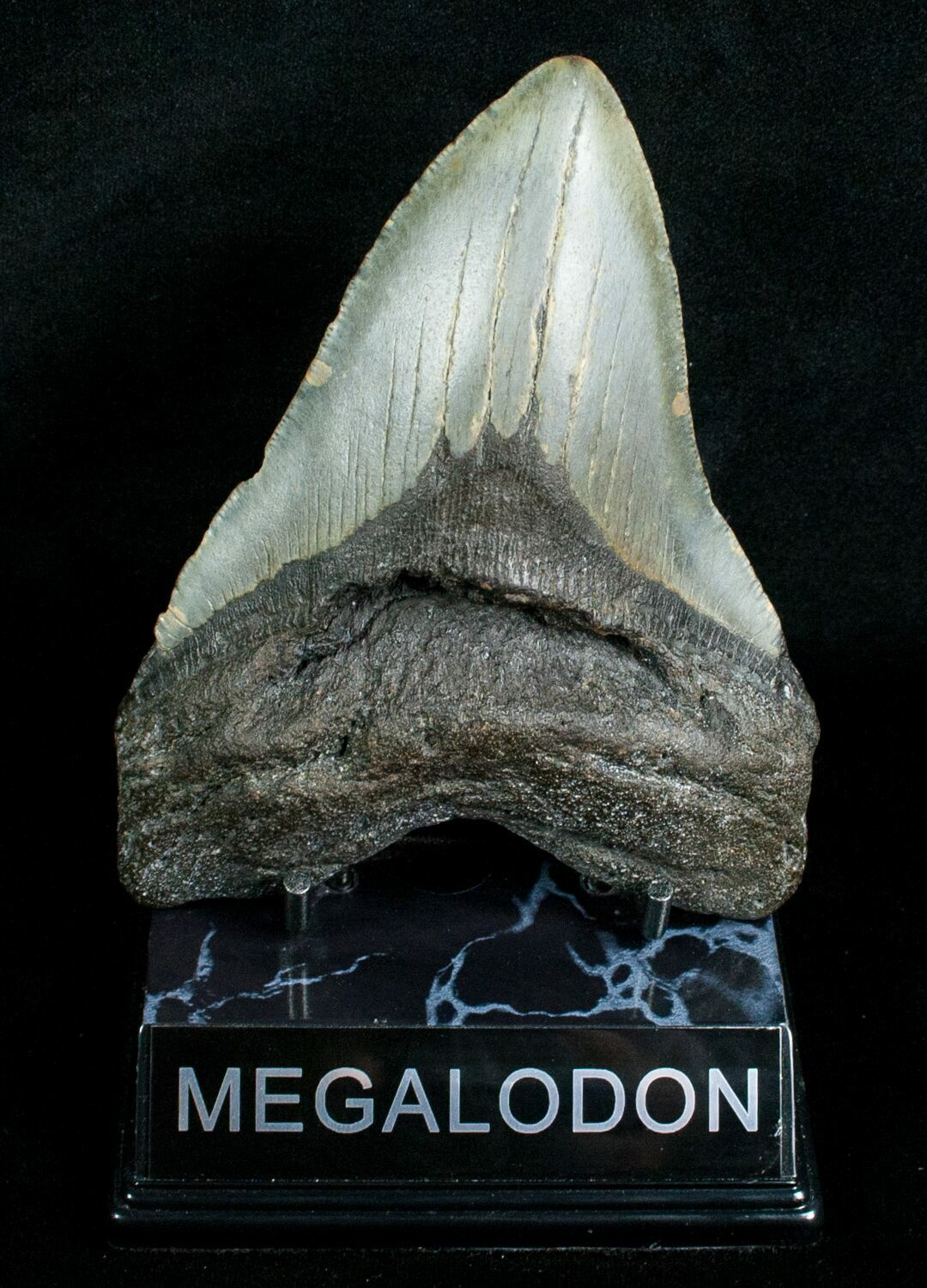 5 19 Quot Megalodon Shark Tooth South Carolina For Sale