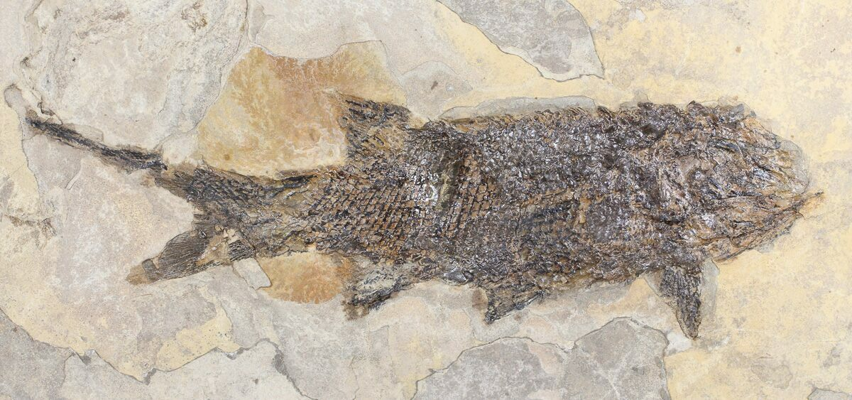 8 4 permian fossil fish paramblypterus germany for for Fish fossils for sale