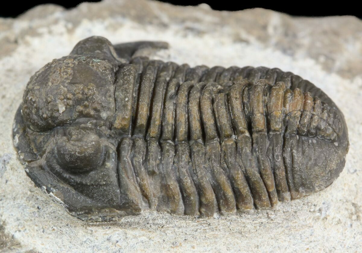 Image result for trilobite fossil