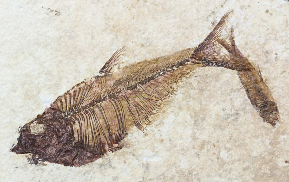4 2 diplomystus knightia fossil fish wyoming for sale for Fish fossils for sale