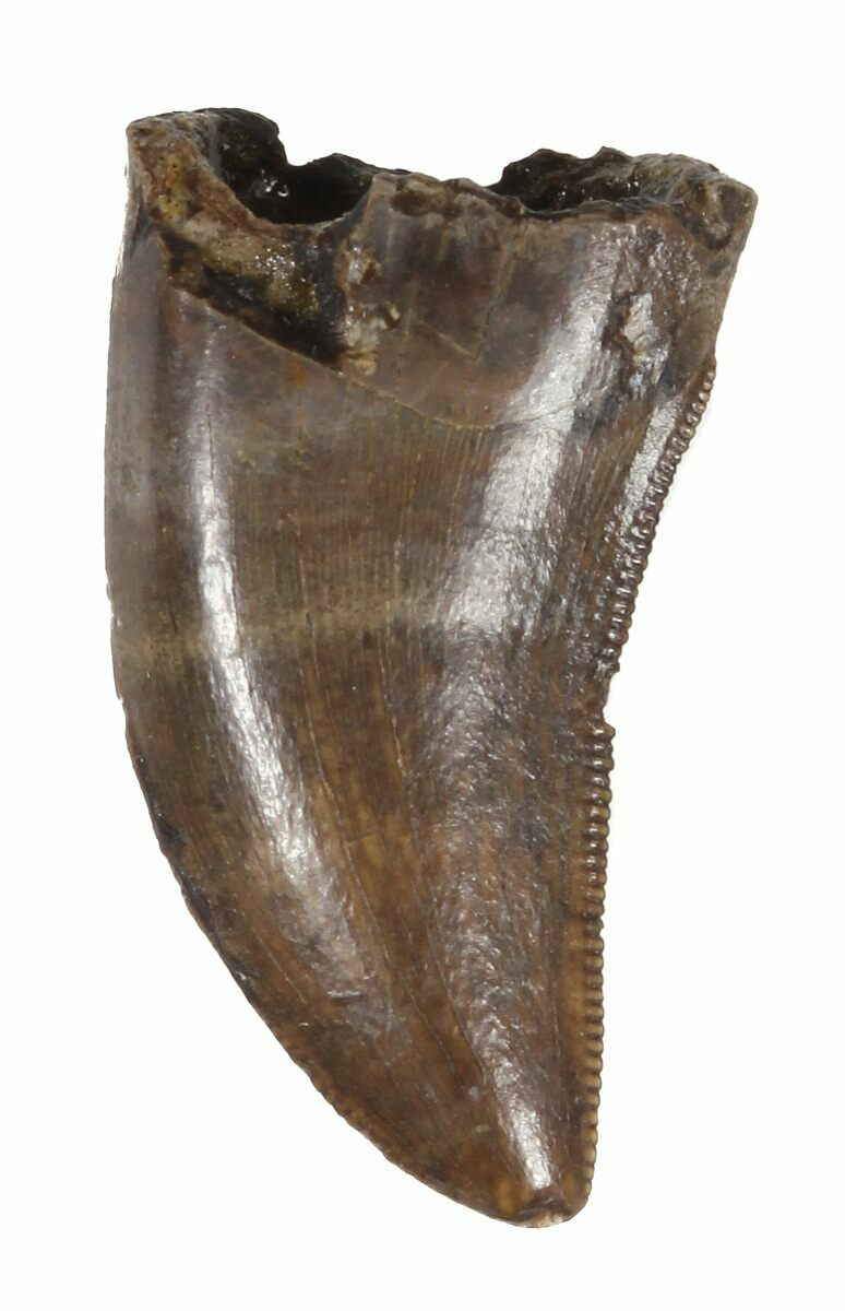 """.63"""" Small Theropod Tooth (Raptor) - Montana For Sale ... Vertebrae Labeled"""