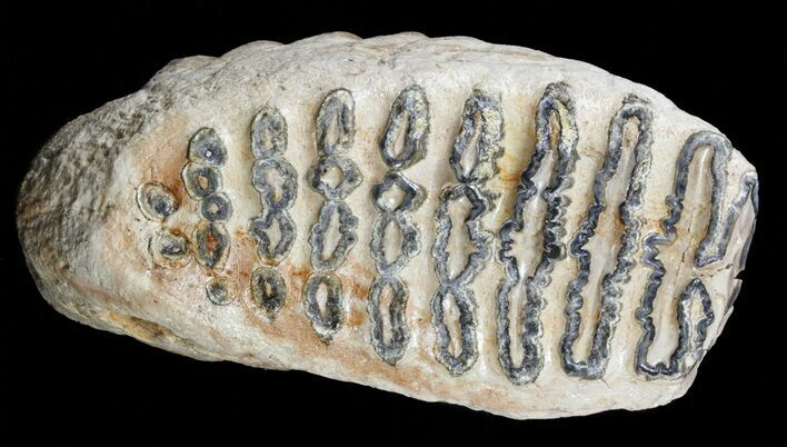 7 4 southern mammoth upper jaw m2 molar for sale 57811 for Bulk river rock for sale near me