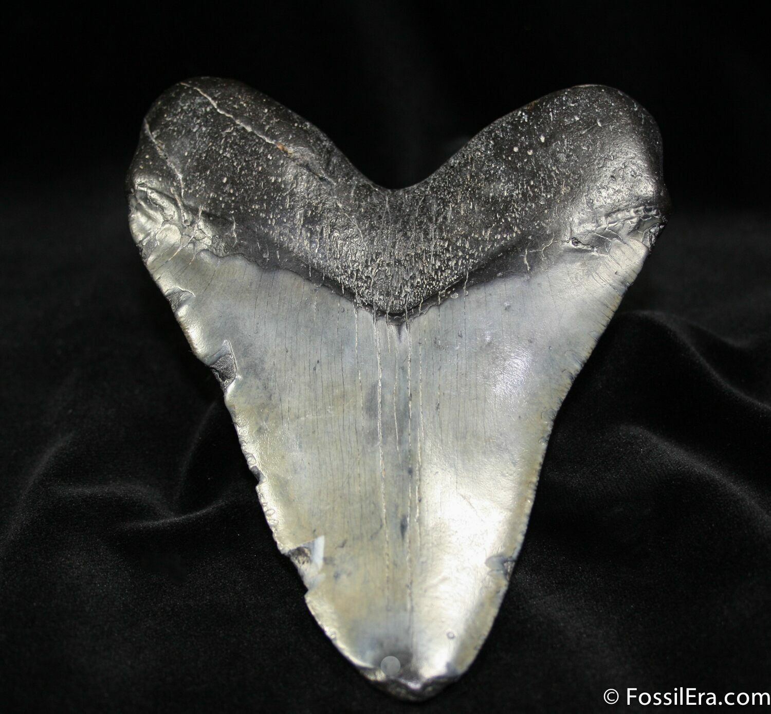 Giant 5 3/4 Inch Megalodon Tooth For Sale (#706