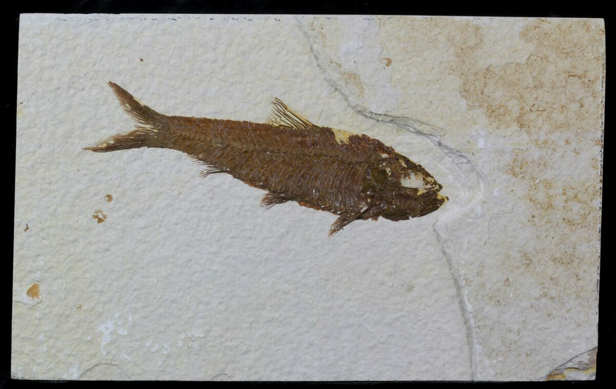 4 1 knightia fossil fish wyoming for sale 59243 for Fish fossils for sale
