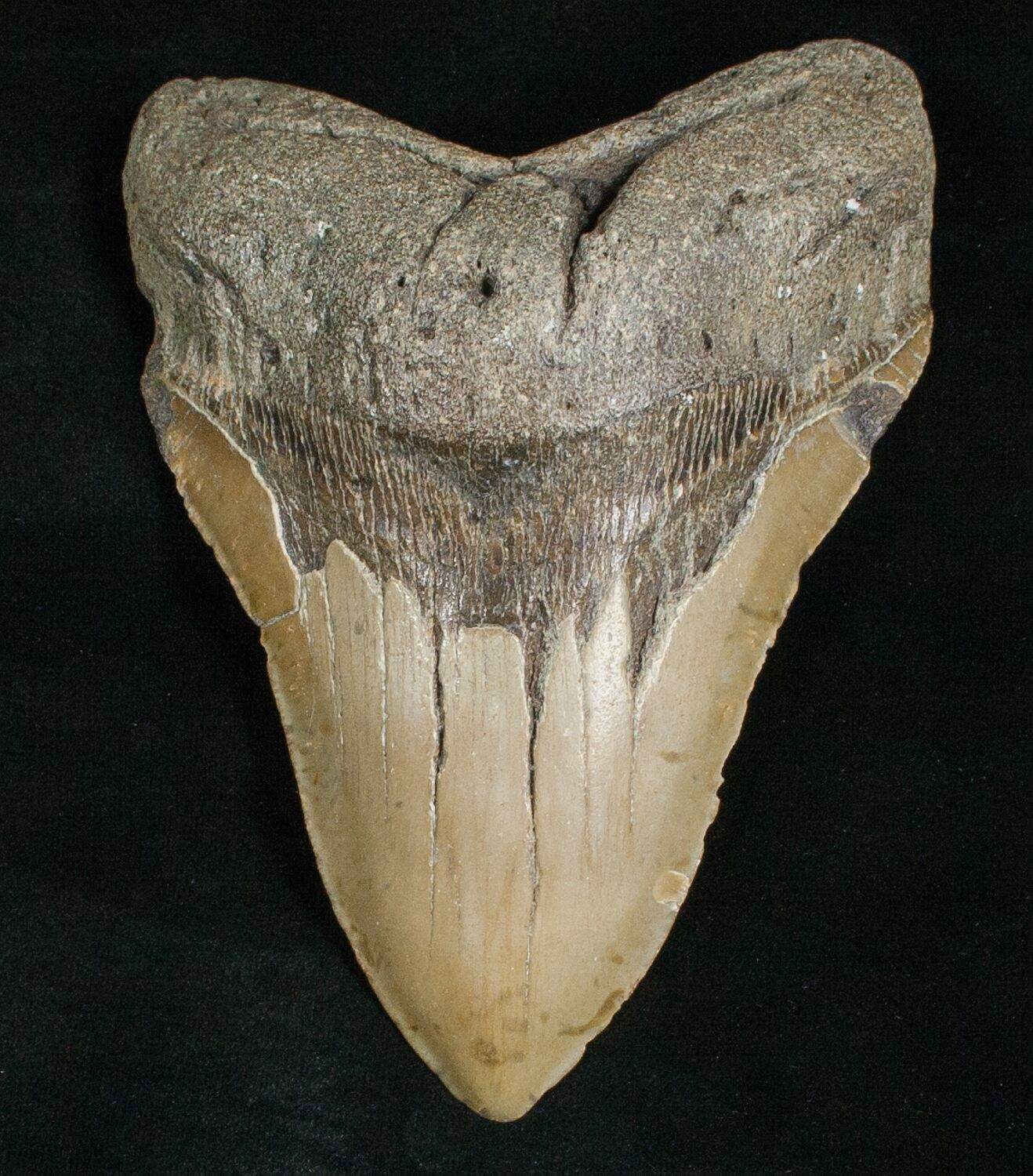 """Large 5.54"""" Megalodon Tooth"""