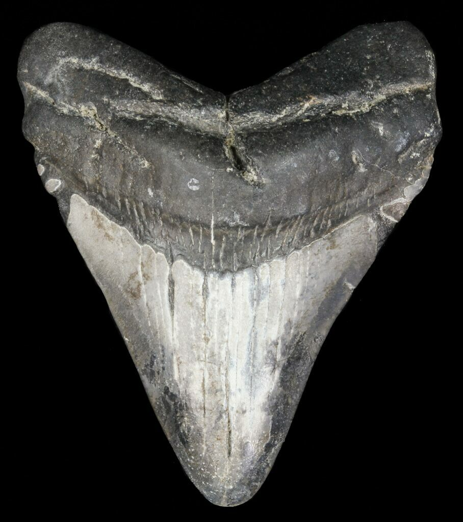 """2.68"""" Juvenile Megalodon Tooth"""