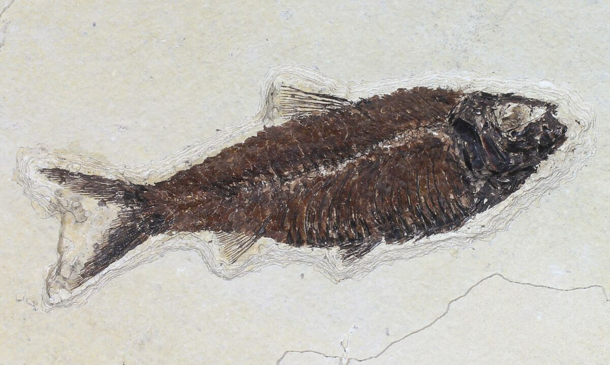 Mioplosus knightia fossil fish association wyoming for for Fish fossils for sale