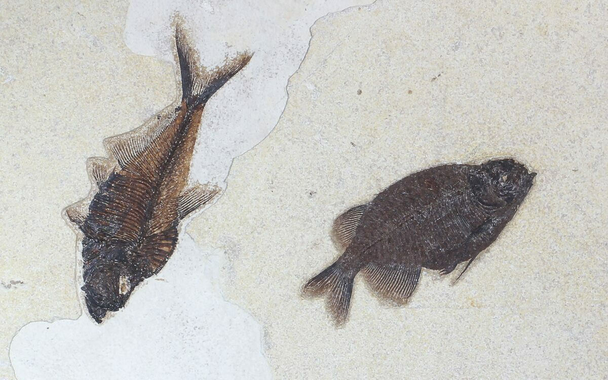 Framed phareodus diplomystus fossil fish wyoming for for Fish fossils for sale