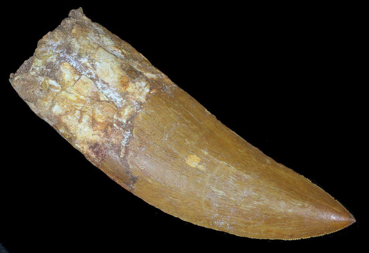 "Huge, 4.45"" Carcharodontosaurus Tooth - Sweet Serrations ..."