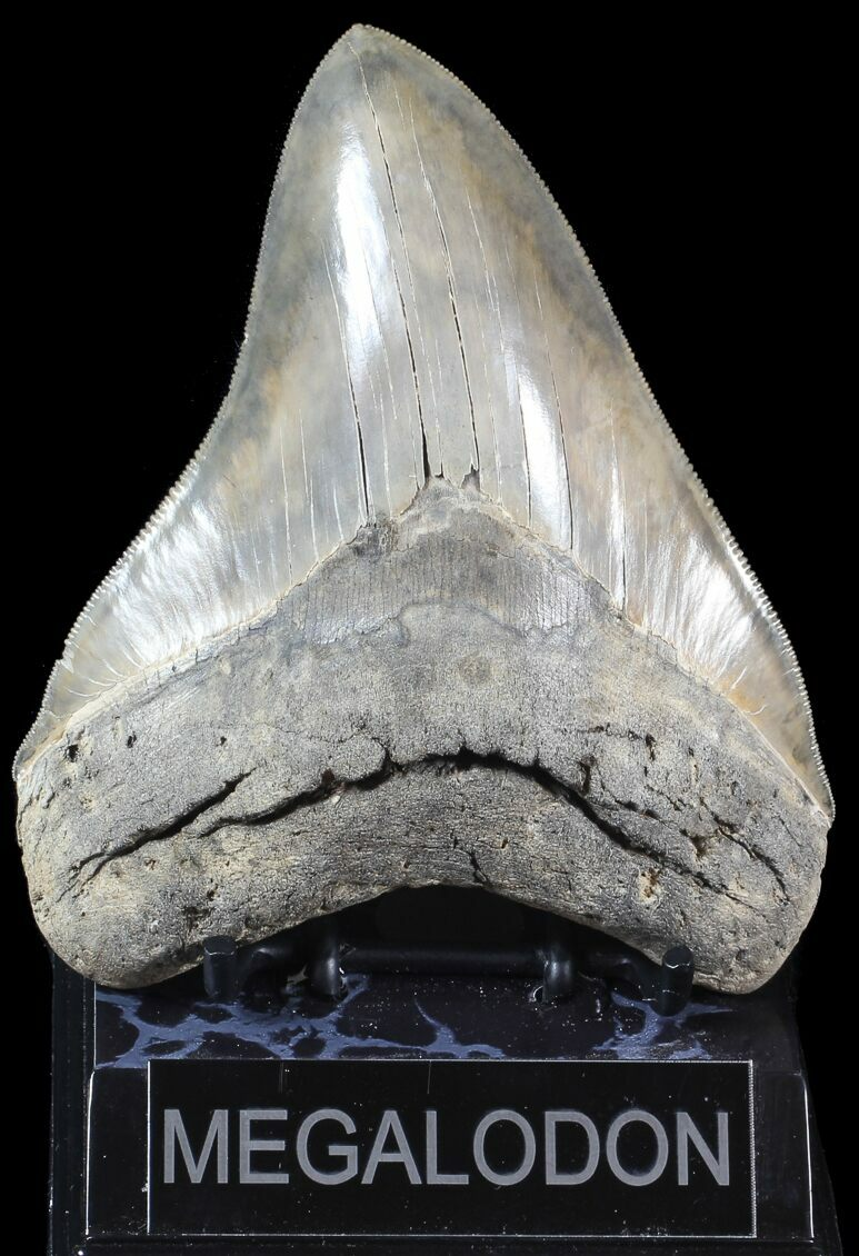 Images of Megalodon Tooth Ark - #rock-cafe