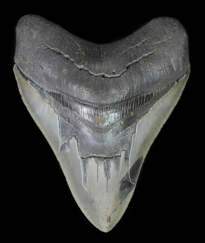 """Serrated, 4.84"""" Megalodon Tooth"""