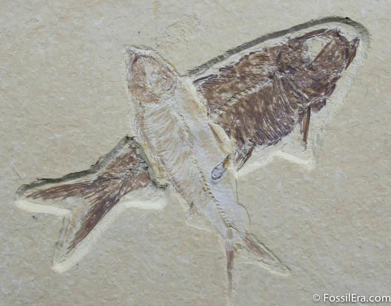 Crossed up knightia fish fossils for sale 787 for Fish fossils for sale