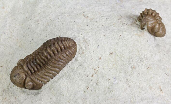 Black Cat Mountain Trilobites