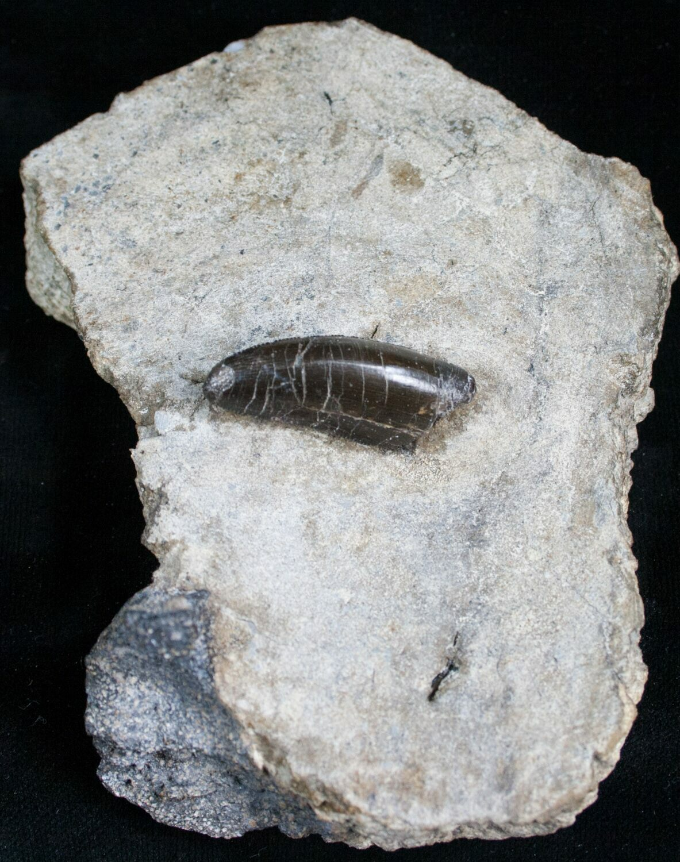 """1.3"""" Allosaurus Tooth In Original Matrix For Sale (#5600 ..."""