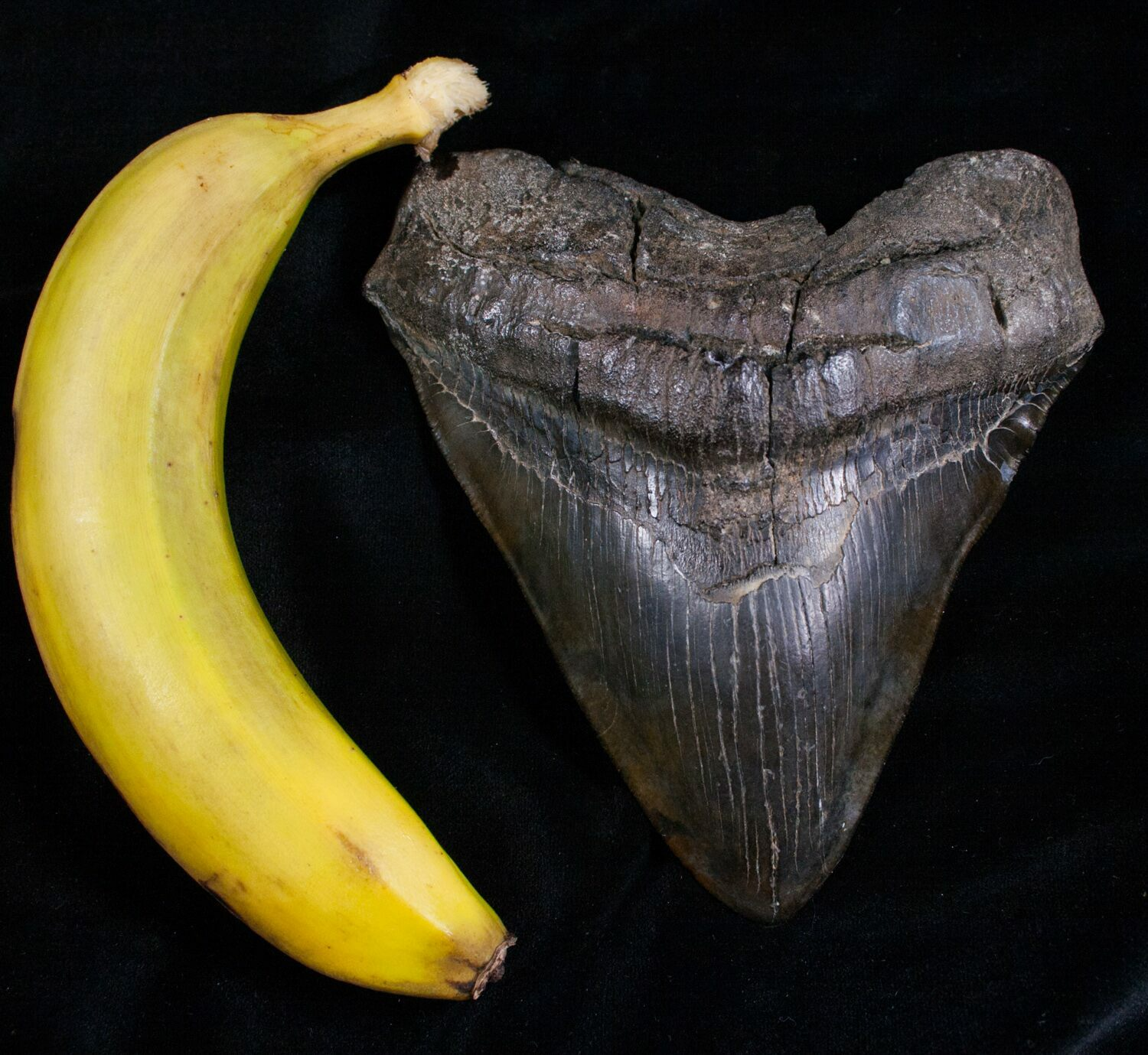 Huge Megalodon Tooth Compared to Banana