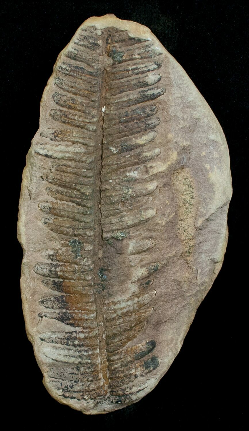 3 million year old fossil dating