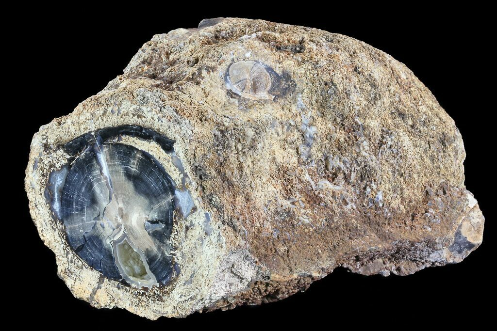 7 1 Quot Petrified Wood Section Wyoming For Sale 73792