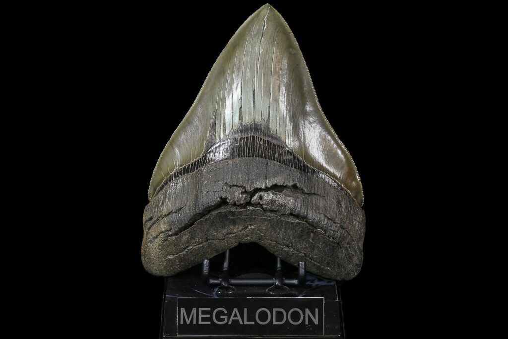 "Serrated, 6.11"" Megalodon Tooth - Collector Specimen! For Sale (#73833) - FossilEra.com"