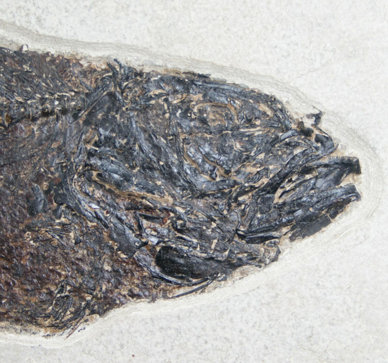 12 mioplosus fish fossil from 18 inch layer for sale for Fish fossils for sale
