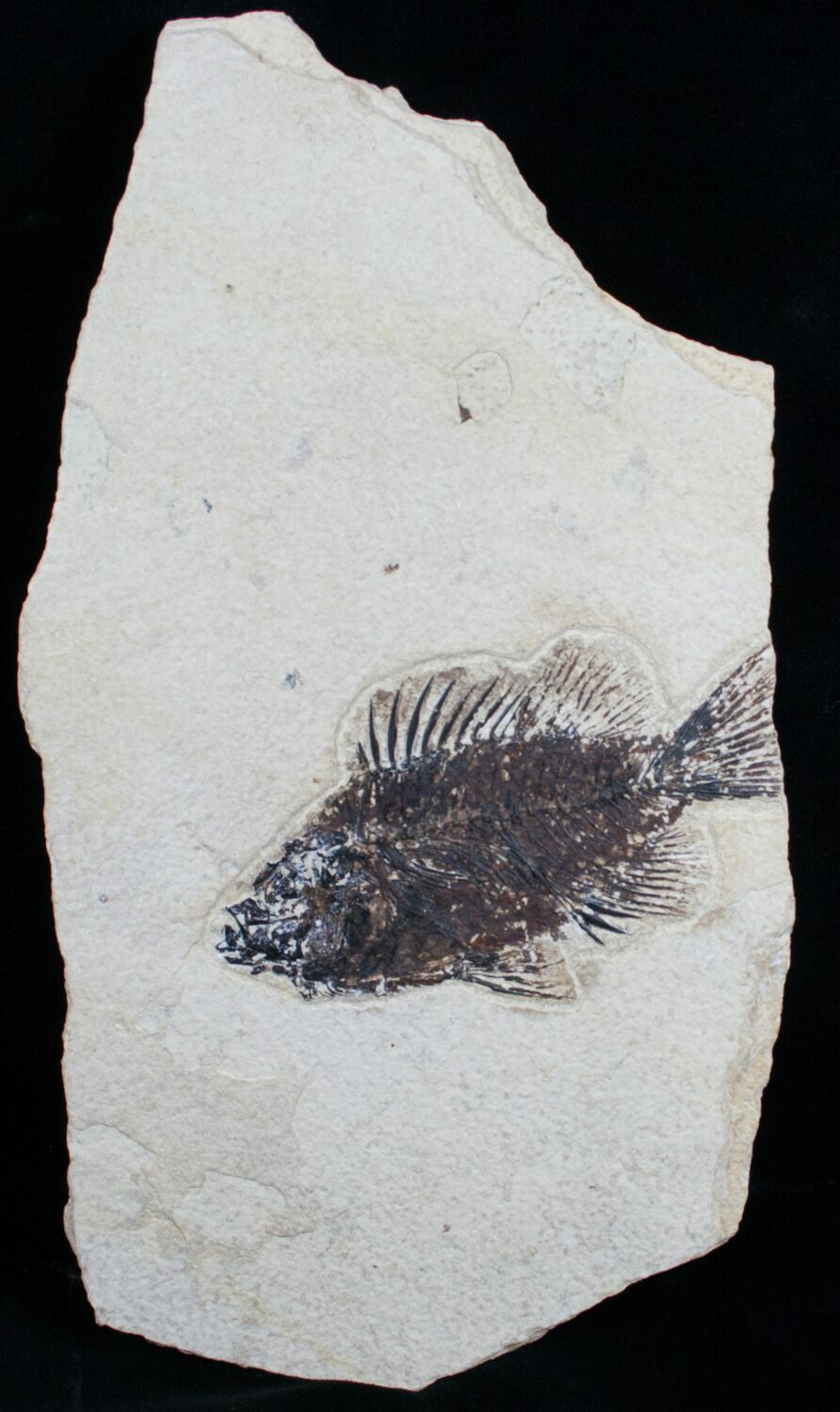 Bargain priscacara fossil fish 4 3 for sale 6032 for Fish fossils for sale