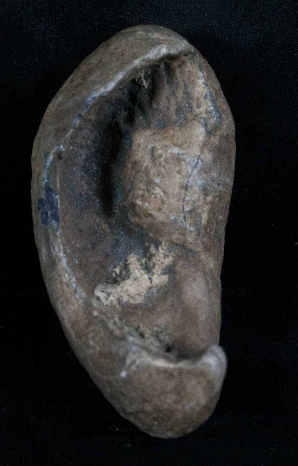 3 Quot Tall Fossil Whale Ear Bone Venice Florida For Sale