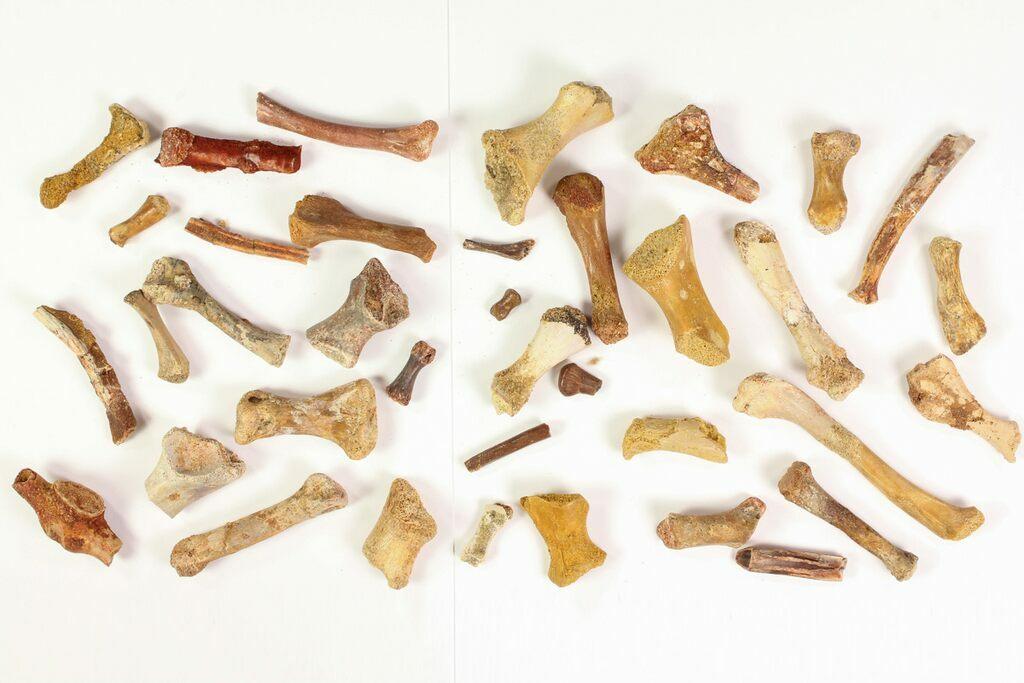 35 Unidentified Dinosaur & Reptile Limb/Foot Bones - Kem Kem Beds