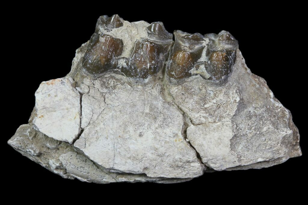 Fossil OREODONT Jaw Section with Teeth; South Dakota
