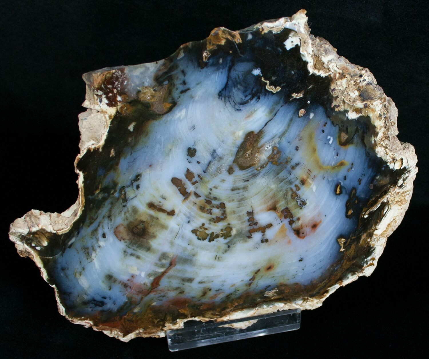 Brilliant Hubbard Basin Petrified Wood Slab 6 3 Quot For