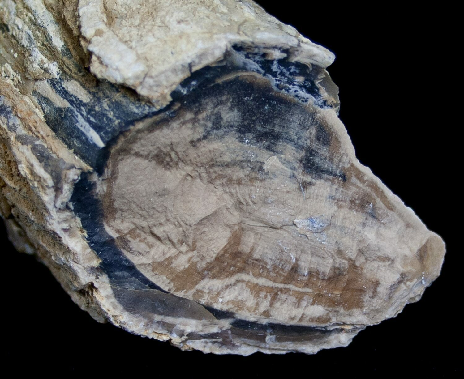 Unpolished Petrified Wood Limb Blue Forest For Sale