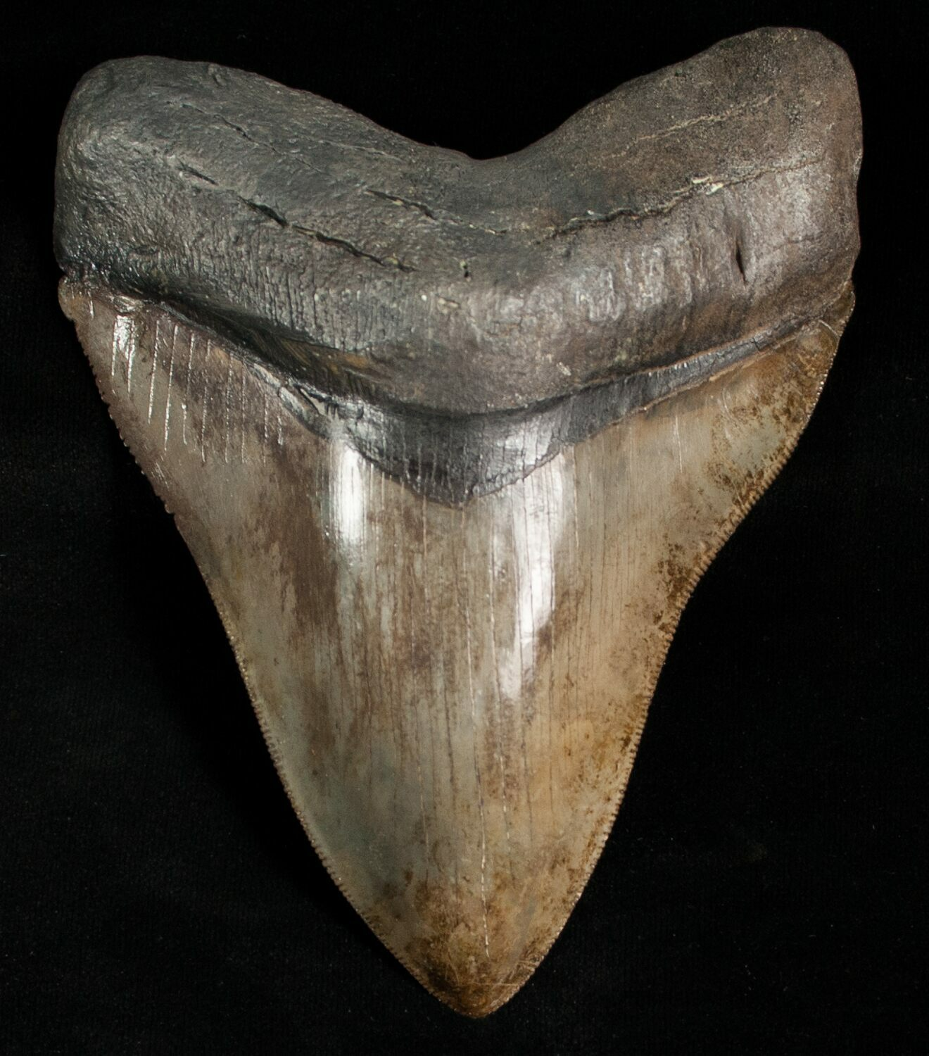 """Well Serrated 5"""" Megalodon Tooth For Sale (#6311) - FossilEra.com"""
