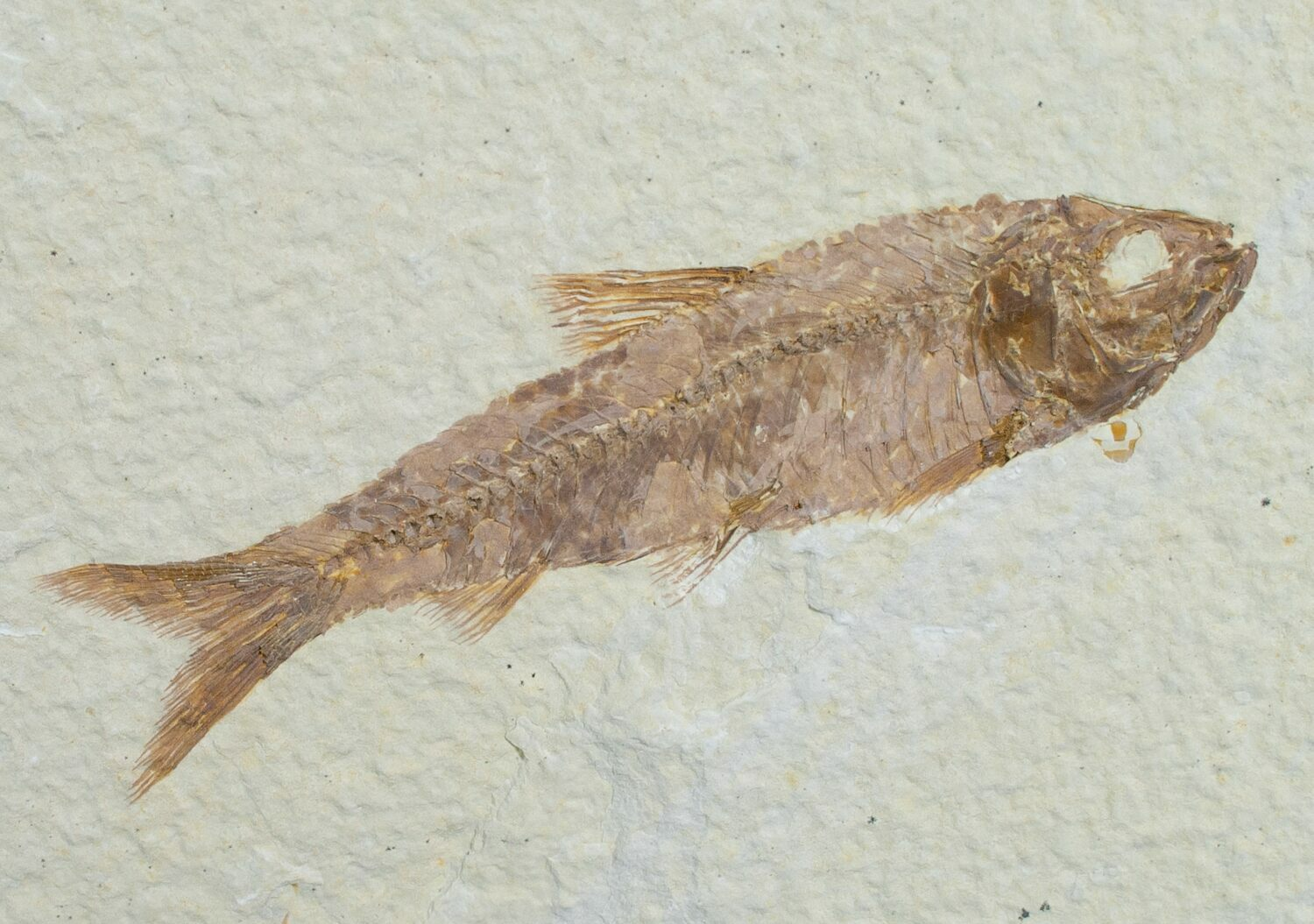 3 2 knightia fish fossil wyoming for sale 6575 for Fish fossils for sale
