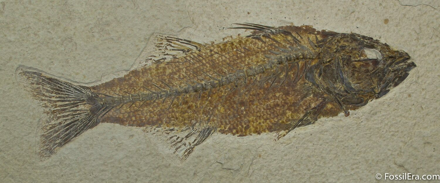 Beautiful inch mioplosus fish fossil for sale 1170 for Fish fossils for sale