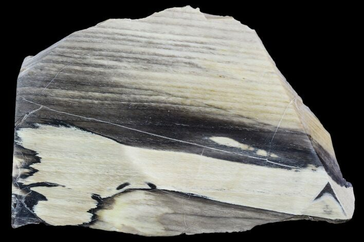 Tom Miner Basin petrified wood log with large quartz crystals inside from Montana RARE