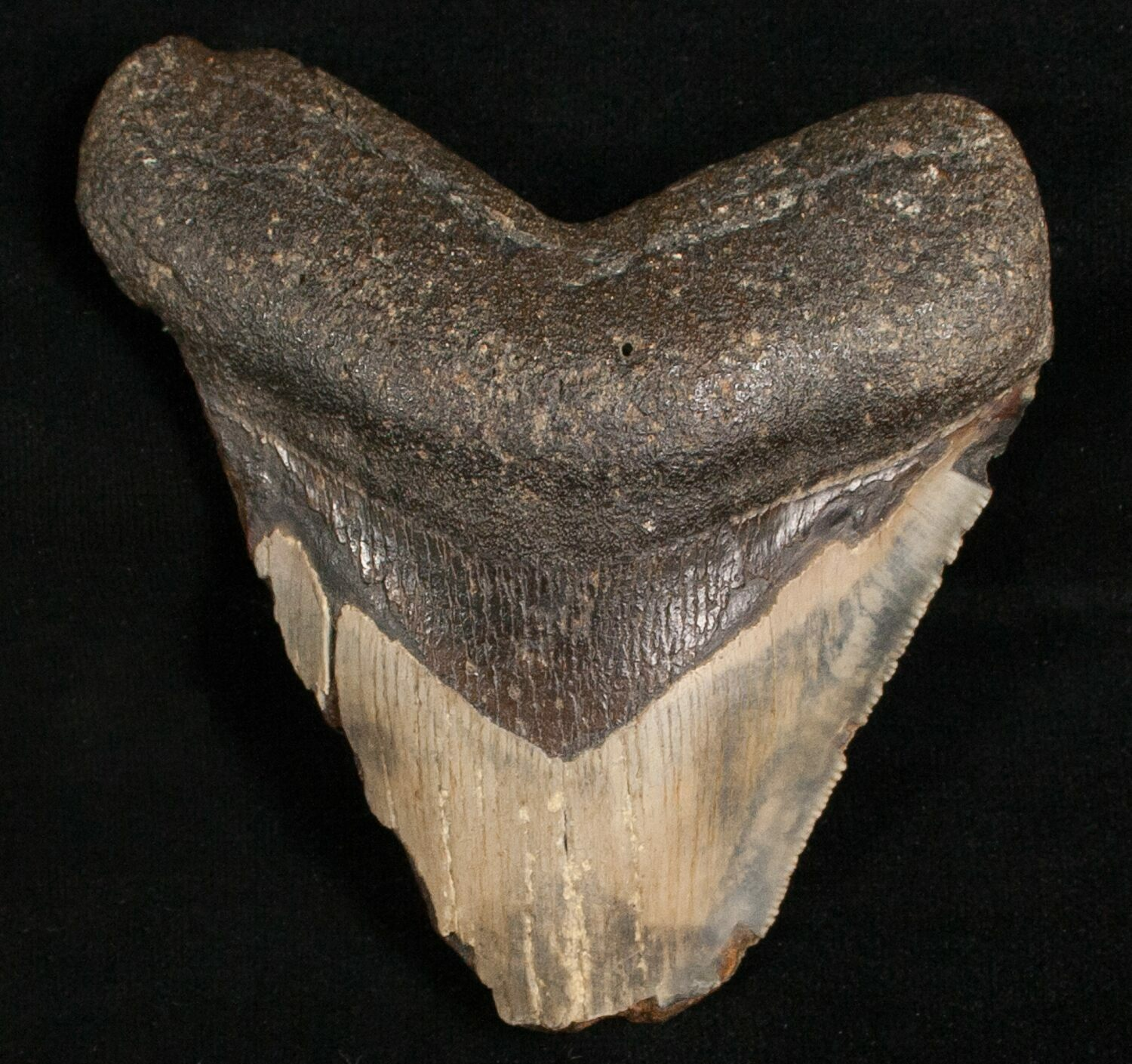 Bargain 3 72 Quot Megalodon Shark Tooth For Sale 7464