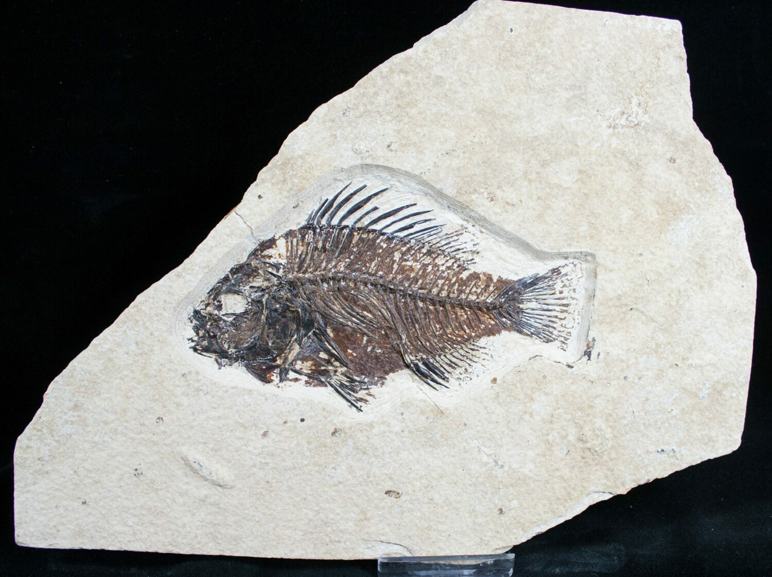 4 3 priscacara fossil fish wyoming for sale 7524 for Fish fossils for sale