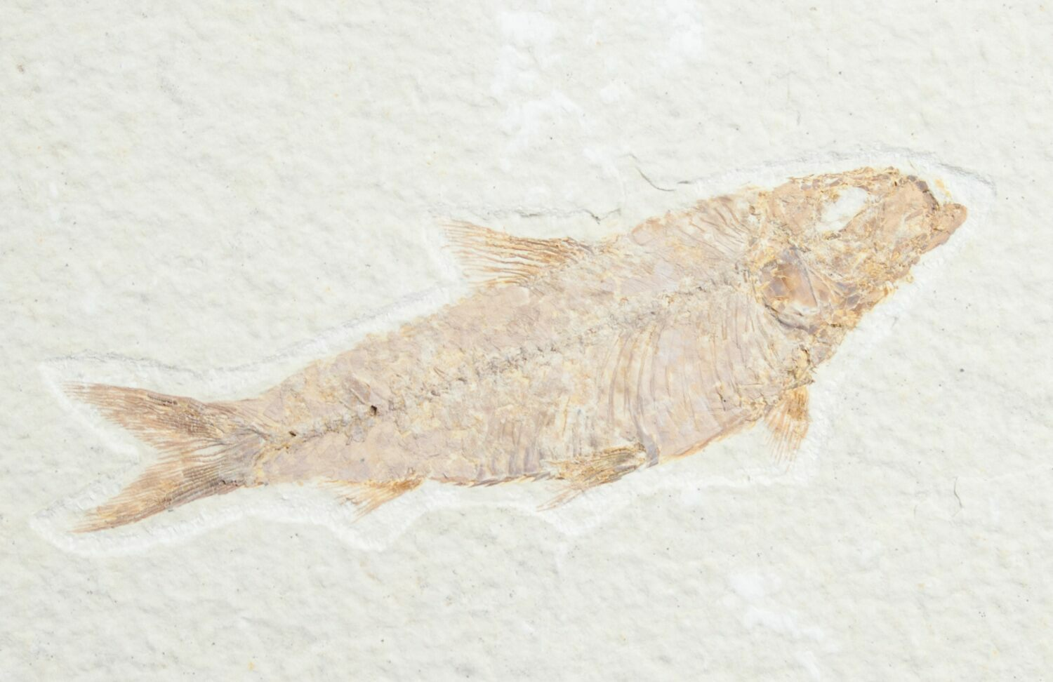 3 2 knightia fossil fish wyoming for sale 7552 for Fish fossils for sale