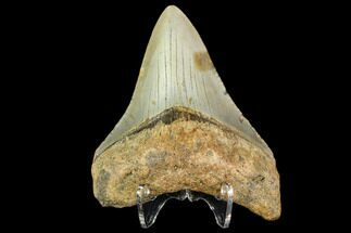 Megalodon Size: How Big Was The Megalodon Shark? - FossilEra com