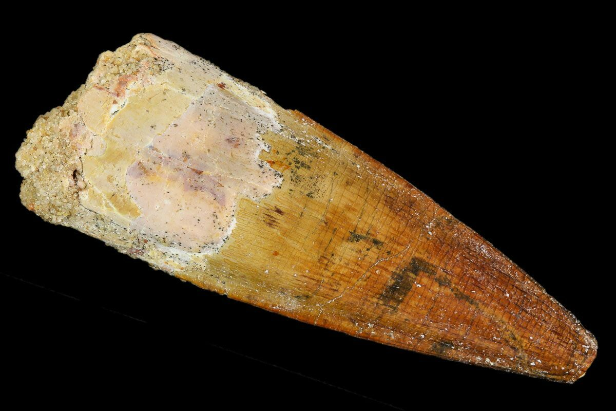 Spinosaurus Teeth For Sale - FossilEra com