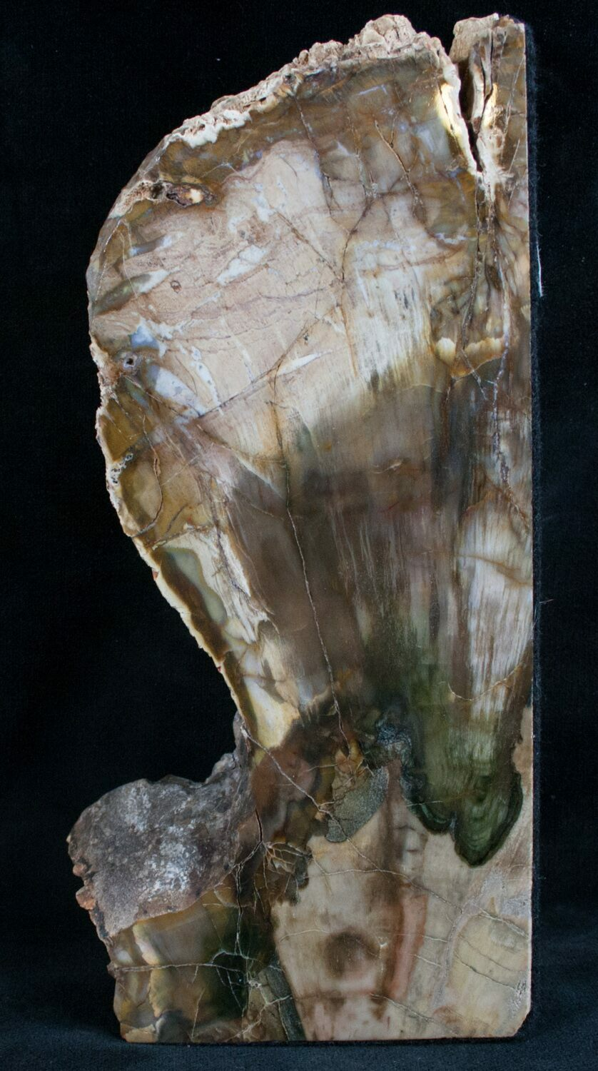 Thick Colorful Polished Petrified Wood 7 7 Quot Long For
