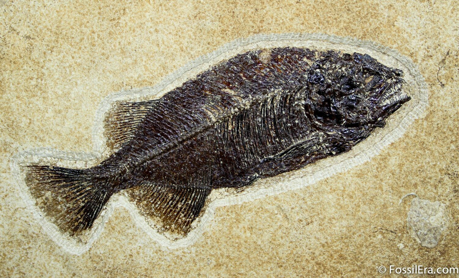 framed phareodus fish fossil 7 8 inches long for sale